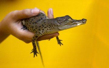желтый, рука, фон, маленький, руки, жёлтая, крокодил, малая