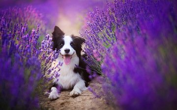flowers, lavender, dog, photographer, language, the border collie, alicja zmysłowska, alicja zmyslowska