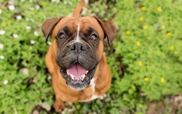 морда, взгляд, собака, радость, боксер