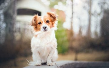 картина, взгляд, собака, друг, красотка