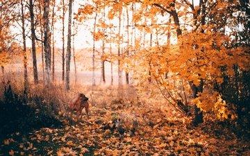 солнце, лес, листья, листва, осень, собака, опадают, осен, солнечный свет, cобака, листья, вудленд