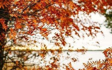 дерево, листья, ветви, листва, осень, опадают, осен, ветками, листья, дерево