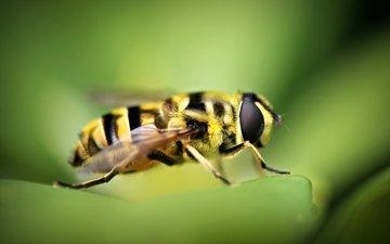 природа, макро, насекомое, пчела