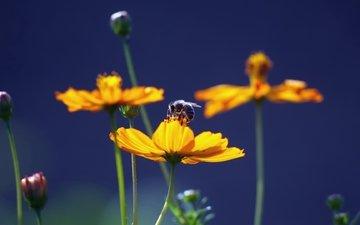 цветы, природа, насекомое, пчела, желтые, мед