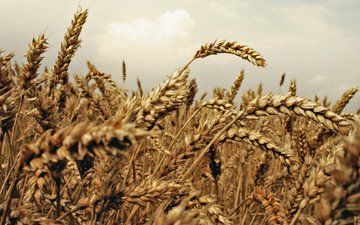 природа, растения, макро, поле, еда, колосья, пшеница, заводы, на природе, пшеничное поле