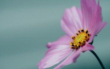 макро, цветок, лепестки, розовая, космея