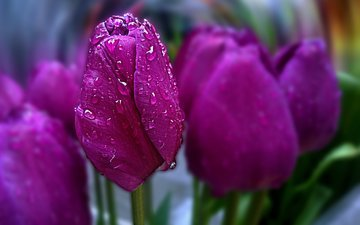 flowers, spring, tulips, bokeh, water drops