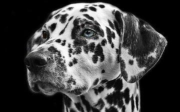 чёрно-белое, собака, пятна, далматин, животное, мех, голова