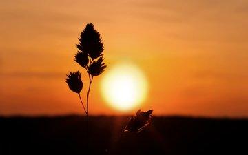 трава, природа, закат, колоски, силуэт