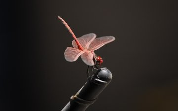 насекомое, крылья, стрекоза, черный фон