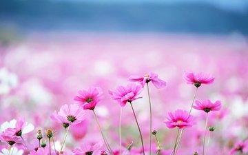 цветы, фон, размытость, розовые, космея