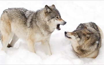 зима, животные, пара, волки, на природе, животно е, woles