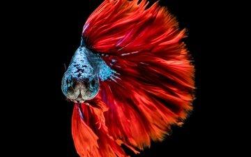 расцветка, голубая, краcный, рыба, башка