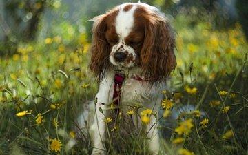 цветы, собака, боке, цветы, поводок, спаниель, cобака