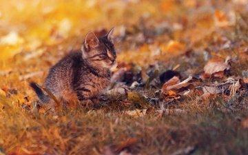 листья, закат, кот, кошка, осень, котенок, осен, ленивый
