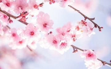 цветы, ветви, вишня, цветы, цветущая сакура, ветками