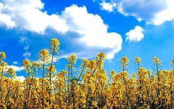 небо, цветы, облака, поле, луг, желтые, неба, цветы, в солнечной, рапс