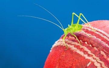 макро, насекомое, мяч, краcный, кузнечик, cricket ball, крикет
