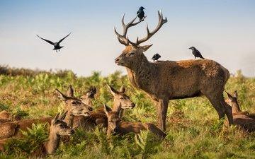 птицы, семья, рога, олени, вороны, дикая природа, оленей, семейка, antlers, красный олень