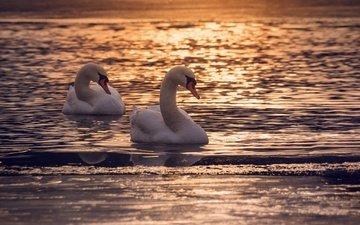 озеро, закат, отражение, птицы, пара, сумерки, лебеди, dusk, лейка, couple, полумрак