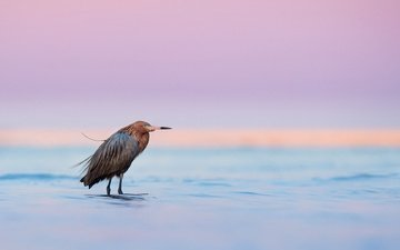 lake, sunset, bird, twilight, wildlife, heron, dusk, egret