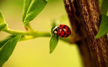 ветка, листья, насекомое, ветви, божья коровка, листья, ladybird