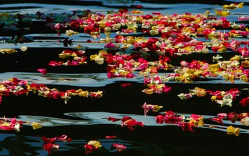 flowers, water, roses, petals, usa, ca, oceanside harbor