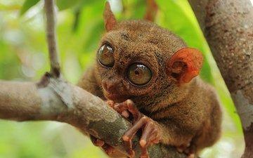природа, макро, примат, долгопят, philippine tarsier