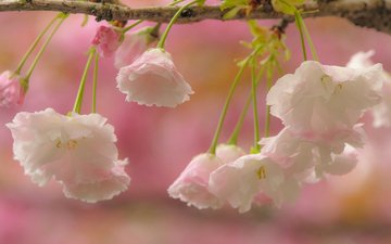 flowers, branch, flowering, macro, cherry, sakura