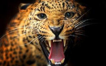 животные, леопард, хищник, пасть