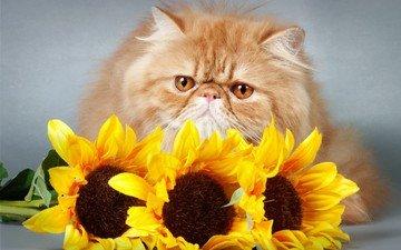 цветы, кот, кошка, взгляд, подсолнухи, киса, цветы, мнение