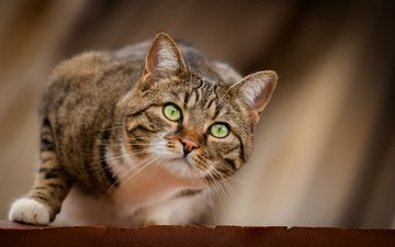 кот, мордочка, кошка, взгляд, охотник, охота