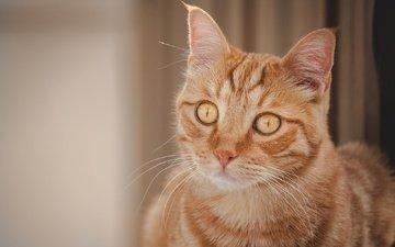 портрет, мордочка, кошка, взгляд, рыжая кошка