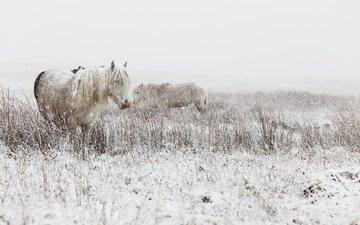 снег, зима, лошади, кони