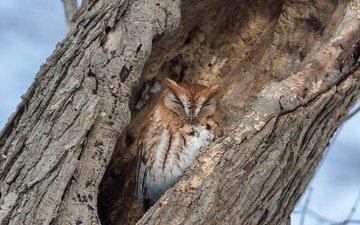 сова, дерево, спит, птица, кора, дупло