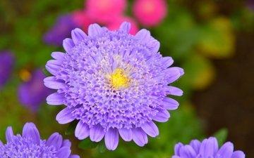 цветы, макро, лепестки, фиолетовый цветок, крупным планом, астры
