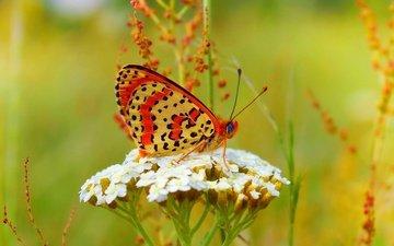 бабочка, цветочки, боке, цветы
