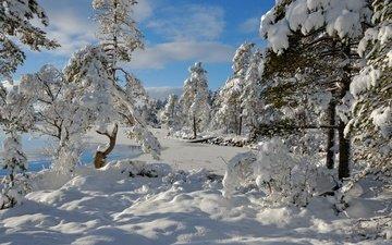 деревья, снег, зима, норвегия, норвегии, nordset, hedmark fylke
