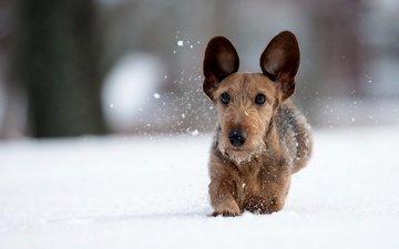 snow, winter, dog, walk