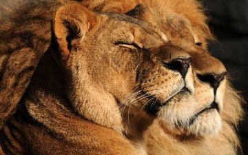 взгляд, пара, семья, дикие кошки, лев, львица