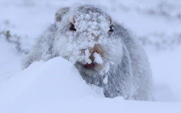 снег, зима, заяц, заяц-беляк