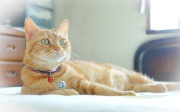 глаза, кот, рыжий