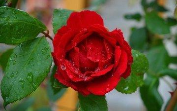 капли, роза, красная, красная роза