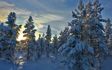 деревья, снег, лес, зима, норвегия, stene, норвегии, hedmark fylke, хедмарк