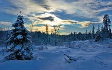 деревья, снег, лес, зима, ель, сугробы, норвегия, норвегии, hedmark fylke, хедмарк