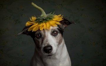 грусть, собака, подсолнух, пес