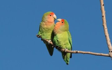 птицы, пара, попугаи, неразлучники, розовощёкий неразлучник
