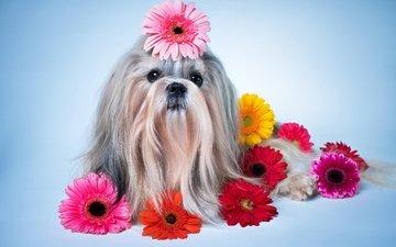 цветы, собака, песики, герберы, ши-тцу, gerberas