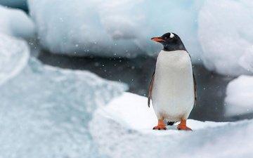 снег, лёд, птица, остров, пингвин, антарктида