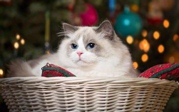 кошка, красавица, корзина, голубые глаза, рэгдолл